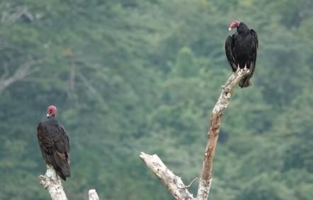 Site de Xunantunich - Couple de vautours