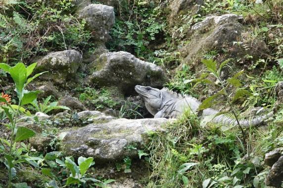 Sur le chemin qui descend du Site de Xunantunich au bac - Iguane
