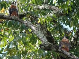 Tikal - Epervier de Cooper