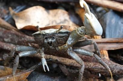 Barra Lampara - Hotelito Perdido - Crabe violonniste
