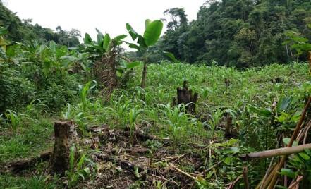 Barra Lampara - Rando vers le village maya Gran Plan Tatin - Il y a eu des cultures ici, mais on ne sait pas si ce champs est toujours exploité...