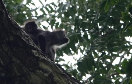 Tikal - Singe araignée avec son petit sur le dos !