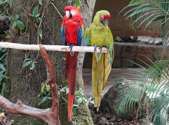 Copan - Macaw Mountain Bird Park - Aras
