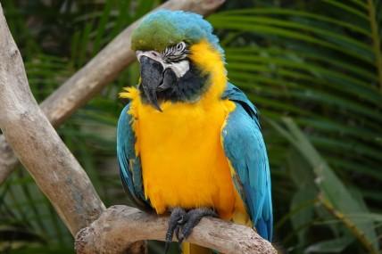 Copan - Macaw Mountain Bird Park - Ara