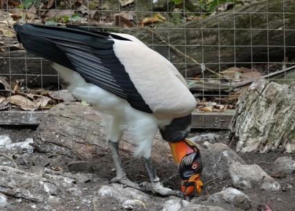 Copan - Macaw Mountain Bird Park - Vautour royal