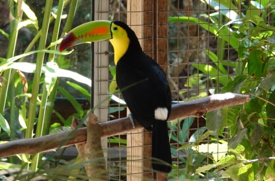 Copan - Macaw Mountain Bird Park - Toucan