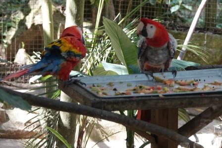 Copan - Macaw Mountain Bird Park - Couple de aras très stressés ; celui de droite s'arrache même les plumes de désespoir...