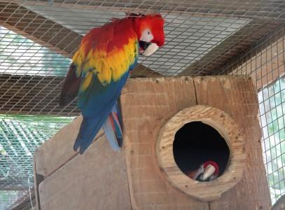 Copan - Macaw Mountain Bird Park - Encore un couple stressé ; la femelle reste enfermée dans son nid, et le mâle la surveille, l'air déprimé...