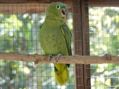 Copan - Macaw Mountain Bird Park