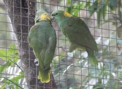 Copan - Macaw Mountain Bird Park