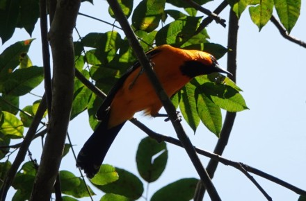 Copan - Macaw Mountain Bird Park - Altamira Oriole