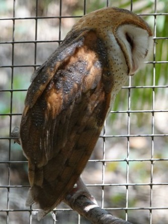 Copan - Macaw Mountain Bird Park - Chouette hulotte