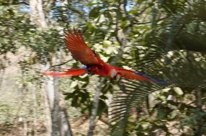 Copan - Macaw Mountain Bird Park - Ara en vol... C'est flou, mais ces oiseaux bougent tout le temps (!) et la luminosité n'était pas très bonne...
