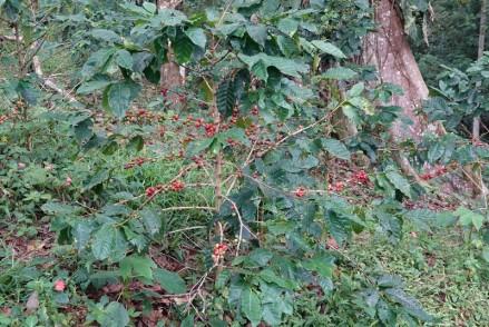 Plantation Welchez – Coffee Tour - Caféier