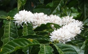 Plantation Welchez – Coffee Tour - Fleur de caféier