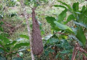 Plantation Welchez – Coffee Tour - Nid de tisserin