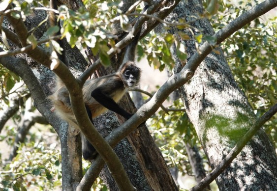 Reserva Natural Atitlan - Singe-araignée