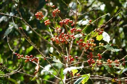 Reserva Natural Atitlan - Balade à pied - Caféier sauvage