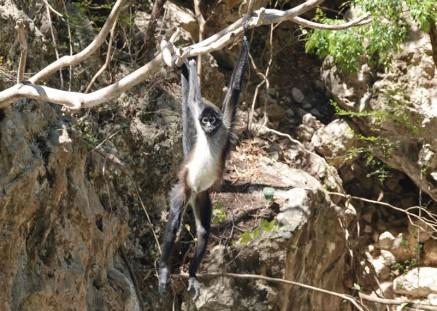 Canyon del Sumidero - Balade en bateau - Singe-araignée