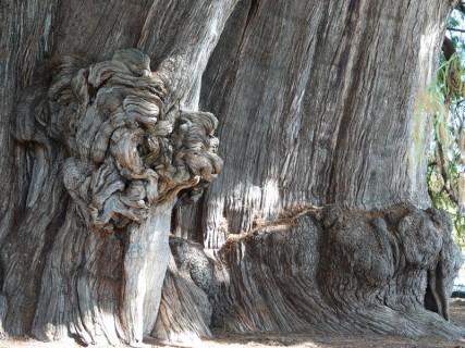 Tule - Superbe arbre bimillénaire