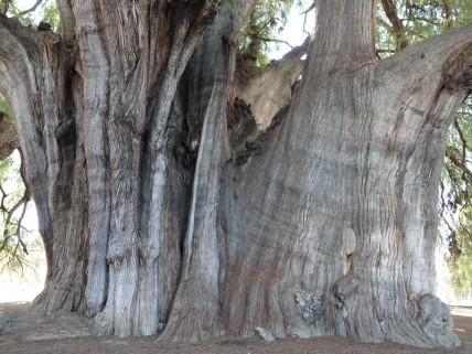 Tule - Superbe arbre bimillénaire dont la circonférence est de 50m !
