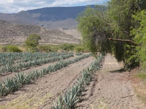 Vers Mitla - Champs d'agaves