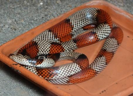 Route des Fleurs - Juayu - Reptilandia - Serpent faux corail (non venimeux)