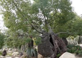 San Diego - Balboa Parc - Bel arbre au gros tronc