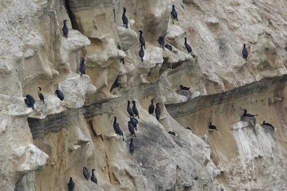 La Jolla - Coast Walk Trail - Falaise aux cormorans