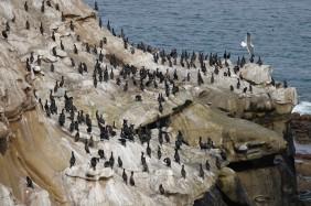 La Jolla - Coast Walk Trail - Des cormorans par dizaines !