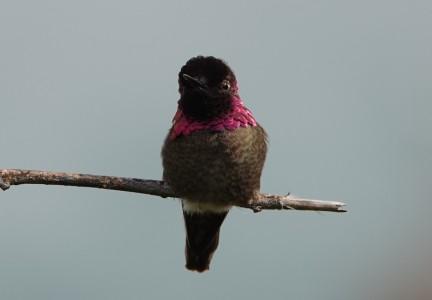 La Jolla - Colibri