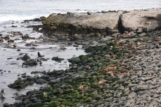 La Jolla - Très nombreuses otaries sur la plage rocheuse...