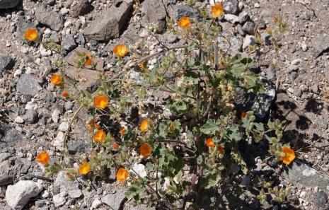 Vers la Plage de Balandra - Petites fleurs du désert...