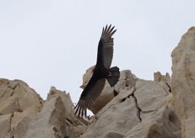Cabo San Lucas - Vers Divorce Beach - Vautour