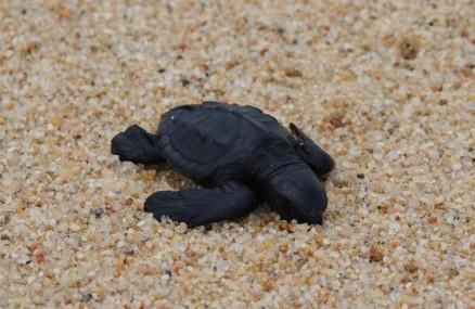 Cabo San Lucas - Bébé tortue trop faible pour rejoindre l'océan