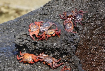 Loreto - Excursion sur l'ile Coronado - Crabes rouges