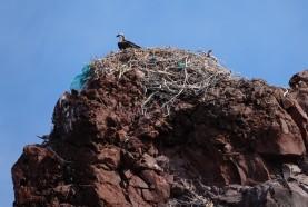 Loreto - Excursion sur l'ile Coronado - Balbuzard au nid !
