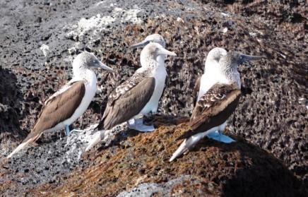 Loreto - Excursion sur l'ile Coronado - Fous aux pieds bleus