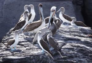 Loreto - Excursion sur l'ile Coronado - Fous aux pieds bleus et pélicans