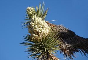 Joshua Tree National Park - Hidden Valley - Fleur de yucca