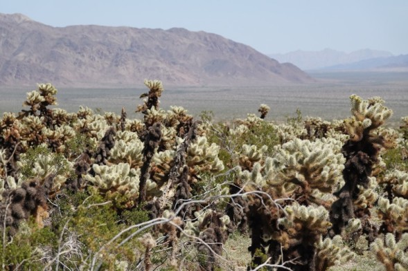 Joshua Tree National Park -Cholla Cactus Garden