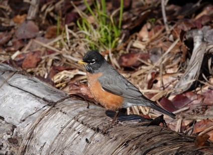 Yosemite National Park - Gray-crowned Rosy-Finch