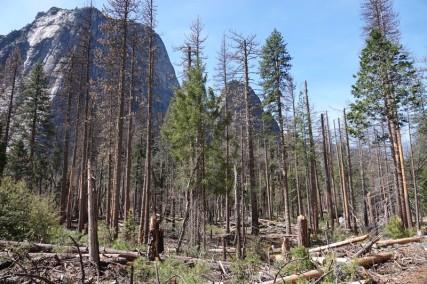 Yosemite National Park - El Capitan - La forêt a beaucoup souffert de la dernière tempête de l'hiver 2019...