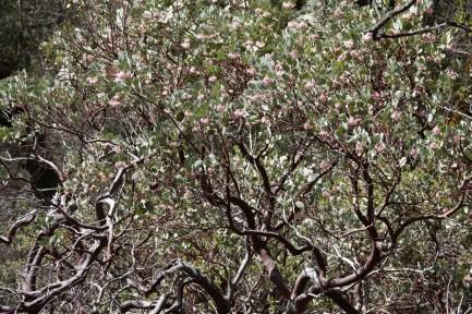 Yosemite National Park - Manzanita, arbuste emblématique de la région