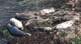 Sur la côte Pacifique, dans la région de Big Sur - Phoques gris