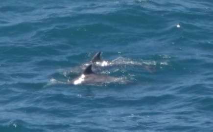 Sur la côte Pacifique, dans la région de Big Sur - Deux dauphins !