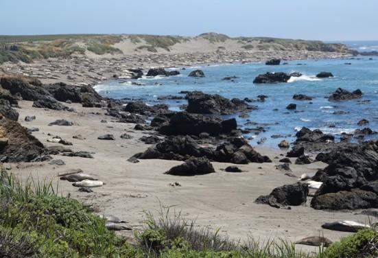 Sur la côte Pacifique, dans la région de Big Sur - Éléphants de mer