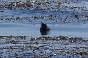 Sur la côte Pacifique, dans la région de Big Sur - Éléphant de mer