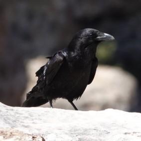 Arizona – Grand Canyon – South Rim, Village - Grand corbeau