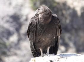 Arizona – Grand Canyon – South Rim, Village - Condor de Californie